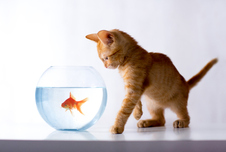 Kitty observers goldfish in a fishbowl 写真素材