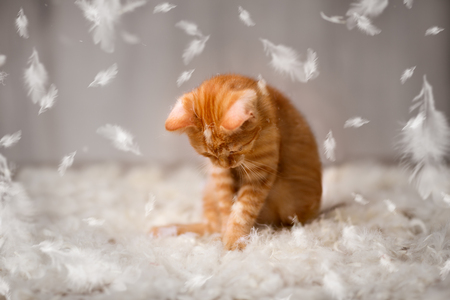 Little cat have fun with feathers, kitten playing Stock Photo