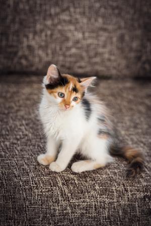 colorful kitten sitting on sofa, domestic pet inside
