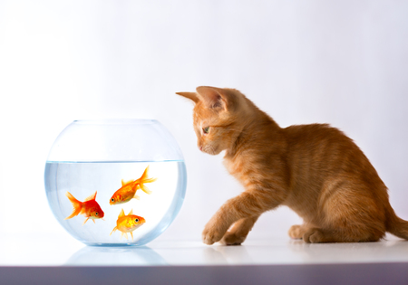 red kitten looks at a goldfish who floats in an aquarium