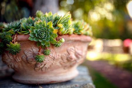 Houseleek in flower pot on morning sunlight background