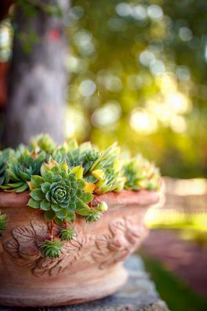 Green houseleek in flower pot on morning sunlight background
