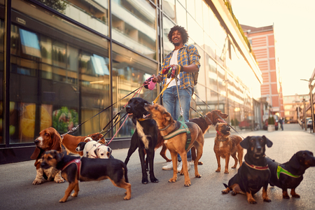 professional dog walker man in the street with lots of dogs