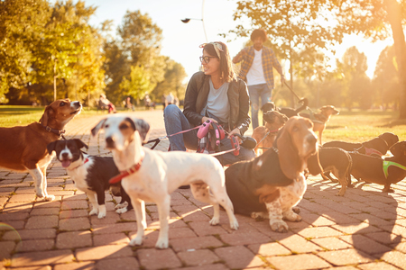 Dogs on walk with professional woman dog walker on the street