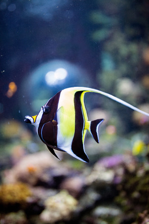 Moorish idol fish in the blue sea