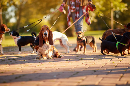 Professional Dog Walker - Basset Hound enjoying in walk outdoors. Stock Photo - 125131896