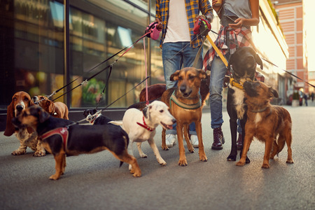 Group of dog walking on leash with couple professional dog walker on the street