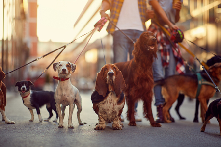 group of dogs with man and leash ready to go for a walk outdoors Stock Photo