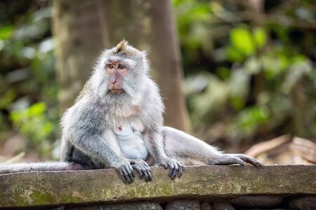 Long-tailed monkey in Sacred monkey forest,  Ubud, Bali, Indonesia