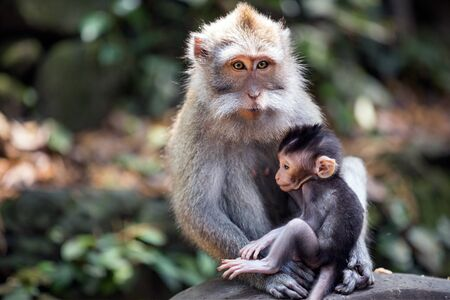 Thoughtful female monkey feeding baby Stock Photo