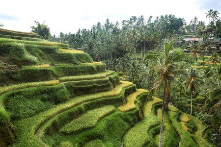 Grüne Reisfelder auf der Insel Bali, in der Nähe von Ubud