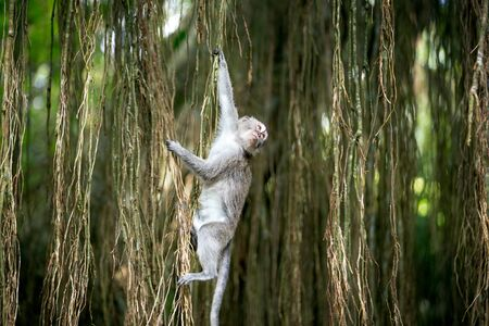 monkey swinging in tree at sacred monkey forest