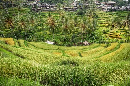 Ripe rice fields in Indonesia