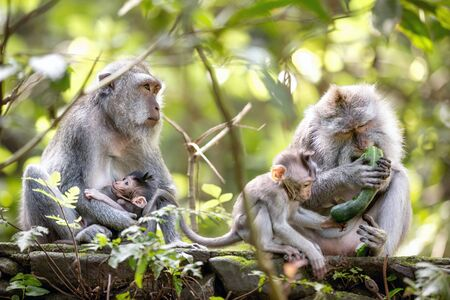 Monkey family in Sacred monkey forest, Bali, Indonesia. 免版税图像