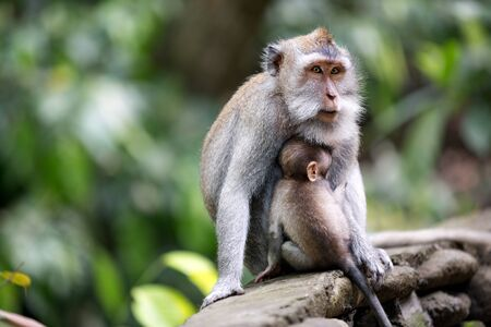 Female monkey with her baby at sacred monkey forest
