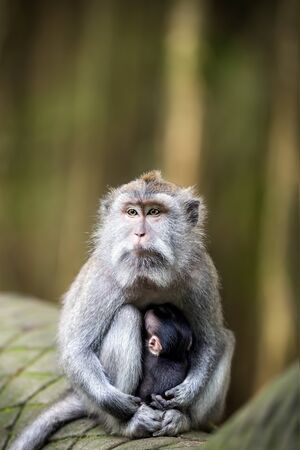 baby monkey nursing from mother at sacred monkey forest ubud, Bali, Indonesia Stock Photo