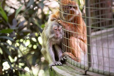 Monkey helps to get rid of fleas to another at cage Stock Photo