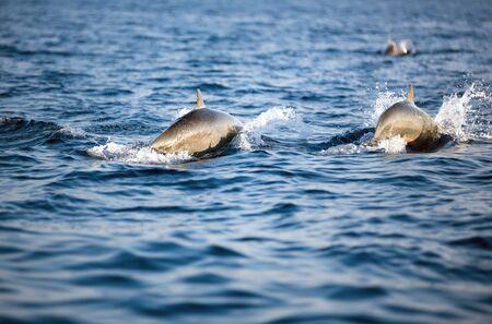 A pair of  dolphins swim in the ocean 版權商用圖片