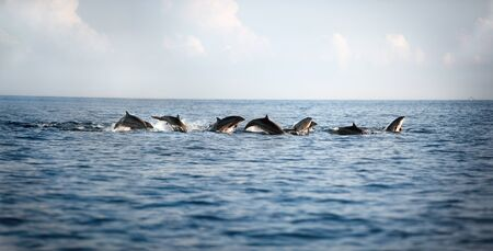 Flock of dolphins leaping out of the water Foto de archivo