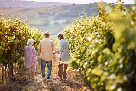 Ripe grapes in vineyard. family vineyard. Happy family walking in between rows of vines together