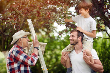 cute caucasian kid picking cherries with his dad and grandpa