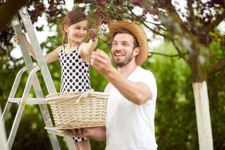 A girl picking cherries with her father on a beautiful weather