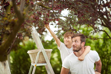 Father helping son to pick the cherries in the garden on a beautiful day Standard-Bild