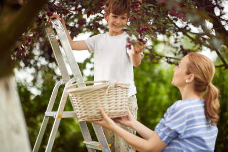 A boy picking cherries to a basket with his mother