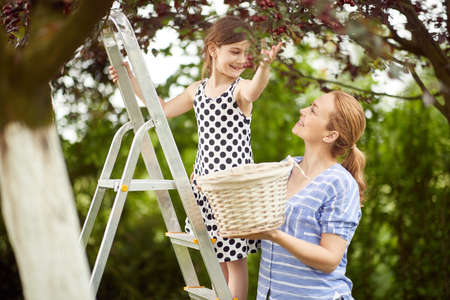 Mother and daughter picking cherries to a basket on a beautiful day