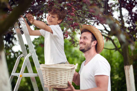 A boy picking cherries with his father on a beautiful day
