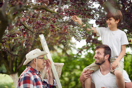 A boy picking cherries with his dad and grandfather in the garden