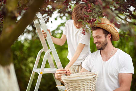 Father and son picking cherries to a basket on a beautiful weather