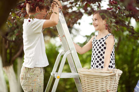 Brother and sister picking cherries to a basket on a beautiful day Standard-Bild