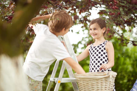 Brother and sister enjoy picking cherries to a basket in the garden