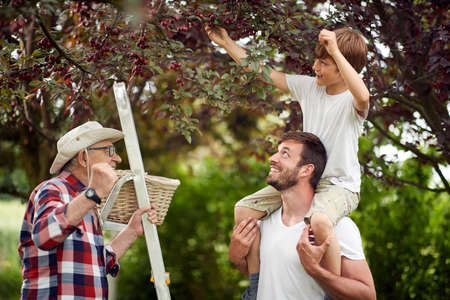 Happy family picking cherries in the garden on a beautiful day Standard-Bild