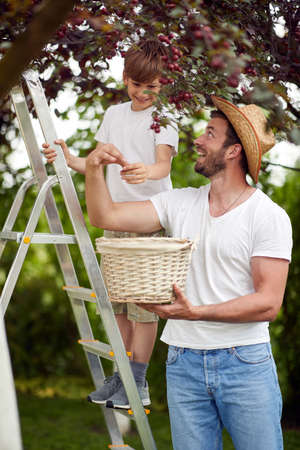 Father and son enjoy picking cherries in garden on a beautiful weather