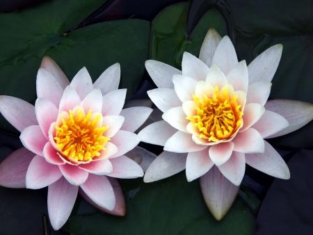 mindfulness: Twin waterlelies