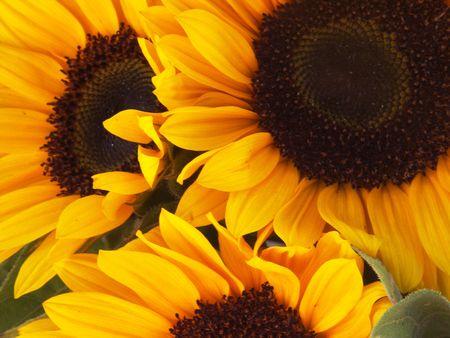 trio: Sunflower Trio