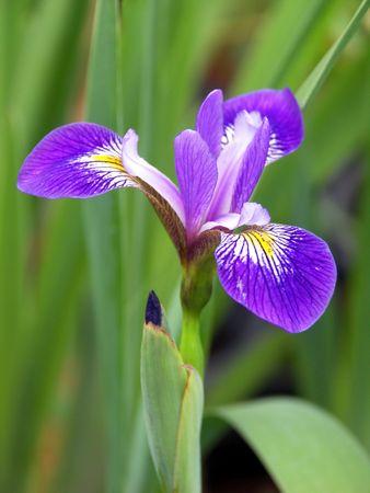 Wild Purple Iris