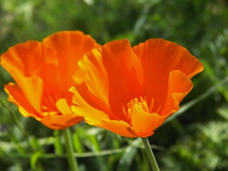 Two California Poppies Stock Photo