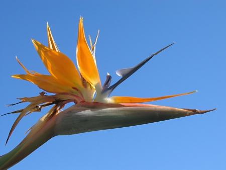 ave del paraiso: Aves de Paraside con cielo azul