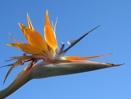 birds of paradise: Bird of Paraside with blue sky