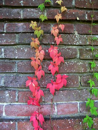 ivy wall: Colorful Ivy on Brick Wall