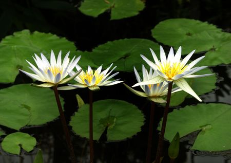 lily pad: Three White Water Lilies Stock Photo