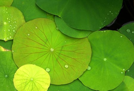 Green Lily Pads with Dew Drops