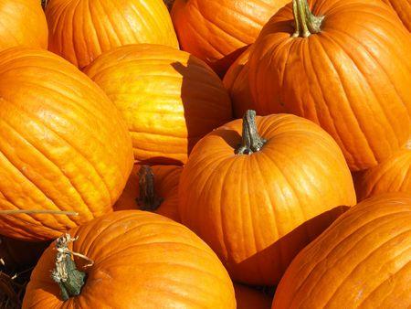pumpkin patch: Lots of Big Pumpkins