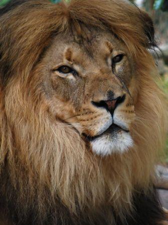 Portrait of a Male Lion photo