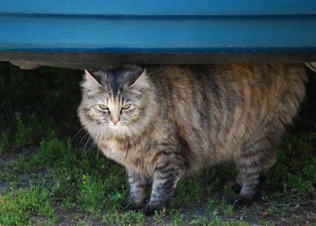 grey cat: Grey tabby cat