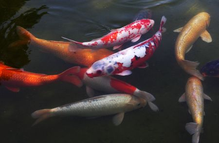 Koi Goldfish in Pond photo