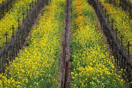 Rows of mustard plants and grapevines at vineyard, Napa Valley, California